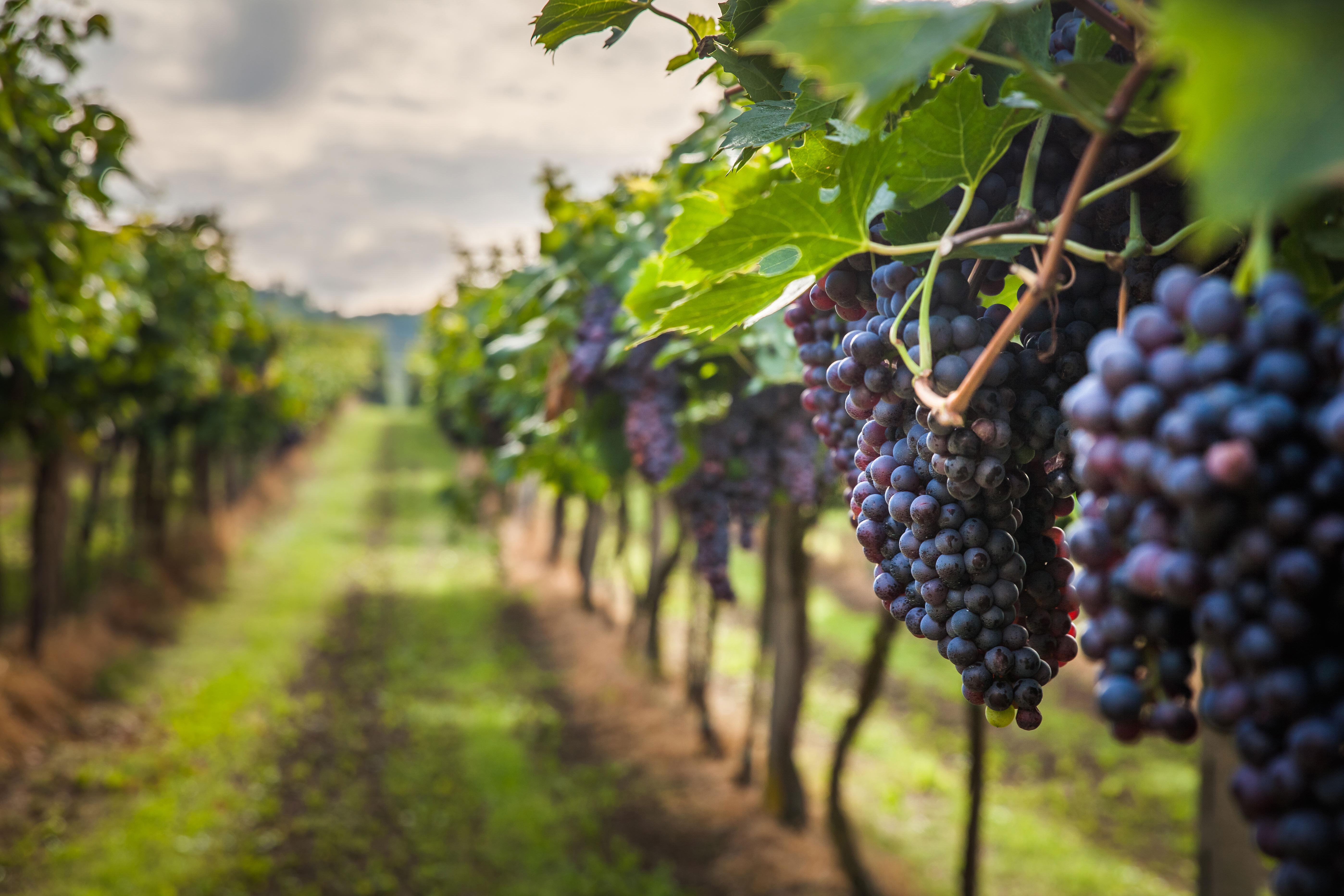 visiter un vignoble